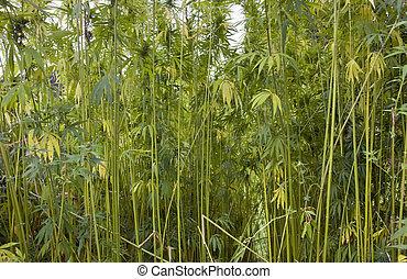detail of a high grown hemp field