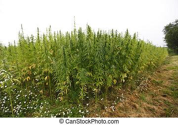 hemp field - hemp cannabis field in france