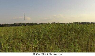 Hemp growing on field