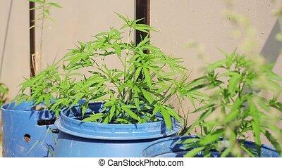 Hemp illegal growing in blue casks shake on wind. Summer...