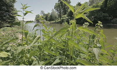 Hemp on Pond Bank - Hemp growing on pond bank.