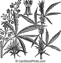 Hemp, Cannabis sativa, Cannabis indica, Cannabis ruderalis, or Chanvre vintage engraving. Old engraved illustration of a Hemp. Male plant (left). Female plant (right).