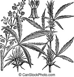 Hemp or Chanvre vintage engraving - Hemp, Cannabis sativa,...