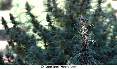 Hemp Plant Marijuana Growing Outdoors in Field