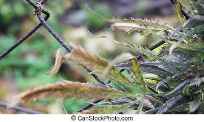 hemp - close-up hemp leaves at the wind