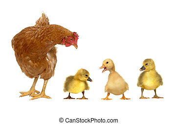 hen and chick ducks on a white background