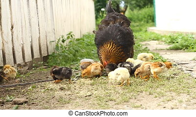 Hen and chickens  - Hen and baby chickens