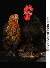 hen and cock on a black background