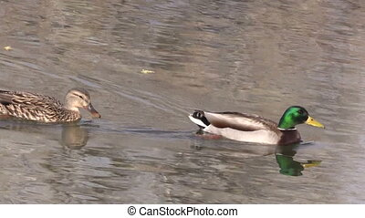 a hen and drake mallard swimming on a pond