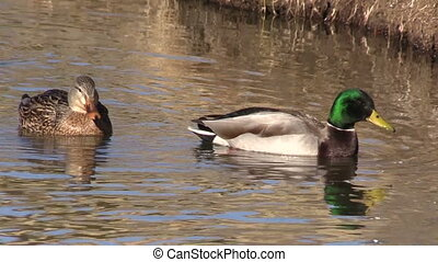 a mallard drake and hen swimming on a pond