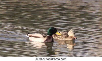 a mallard and hen drake swimming on a pond
