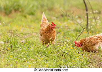 free range chicken in a meadow spring time