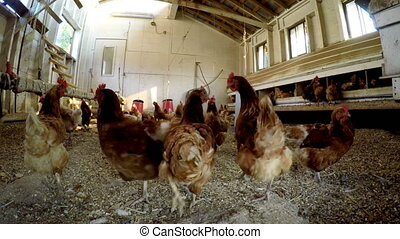 Hen grazing in the chicken coop 4k - Hen grazing in the...