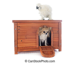 hen house and bantam silkie on a white background