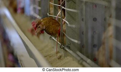Hen in a cage. Bird is eating feed. Create good conditions...