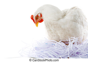 Hen in nest - Photo of hen sitting in artificial nest over...