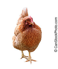 Hen isolated on white - An ex-battery farm brown hen,...