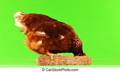 hen nest isolated on green screen