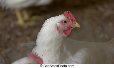 Hen of white color. Poultry on blurred background. Bird...