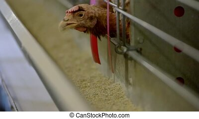 Hen pecks feed. Poultry in cage. Nutrition influences health...