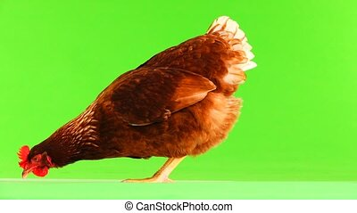 hen pecks grain on green screen