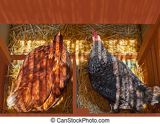 Hen poultry house nest with 2 hens incubate