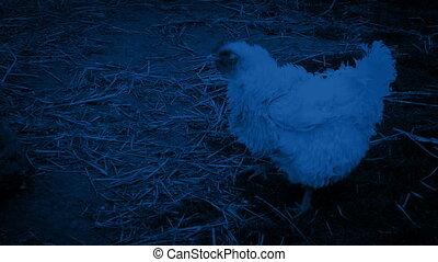 Hen Walking Around On The Farm At Night