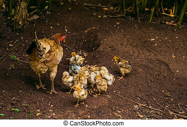 hen with chick finds food close up and blur , Baby chickens stay close to the mother?,chicken feed their young