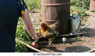 Hen with chickens- looking for worms and insects in the...