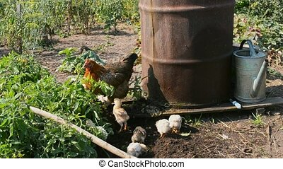 Hen with chickens walking in farm's yard near iron barrel...