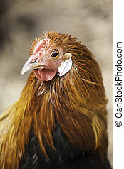 Hen with long silky feathers
