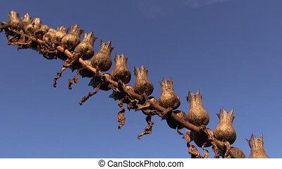 Henbane  Hyoscyamus niger seeds