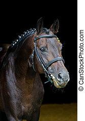 hengst, -, züchter, pferd, auf, dunkler hintergrund