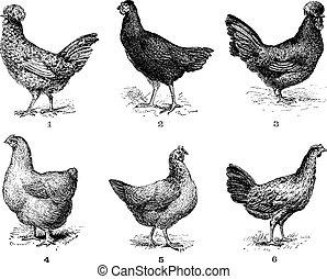 Hens, 1. Houdan chicken. 2. Hen the Arrow. 3. Hen Crevecoeur. 4. Cochin hen. 5. Dorking hen. 6. Chicken of Bresse, vintage engraving.