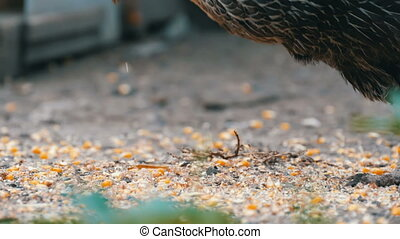 Hens and roosters eat food off the ground in a village yard...