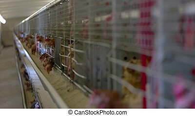 Hens are pecking feed. Domestic birds in cages. Breeding...