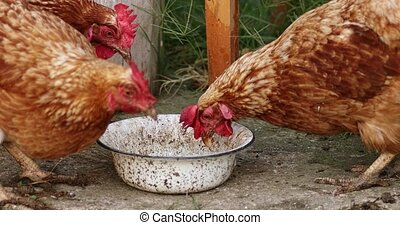 Hens eating from bowl with grain, organic farming