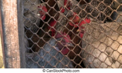 Hens feed in a cage