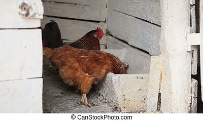 Hens feeding in a chicken coop barn