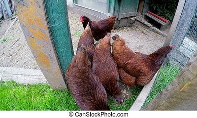 Hens feeding in hen house 4k - Hens feeding in hen house at...
