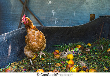 Hens feeding on home waste compost