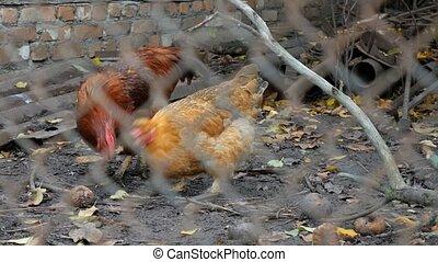 Hens in a chicken coop. Chicken Mesh. - Hens in a chicken...