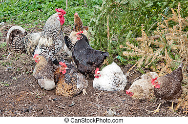 hens in farm