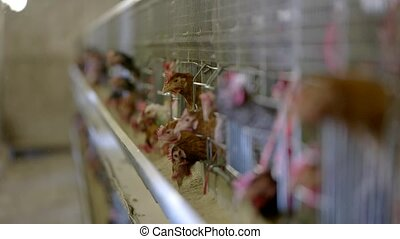 Hens in the cages.