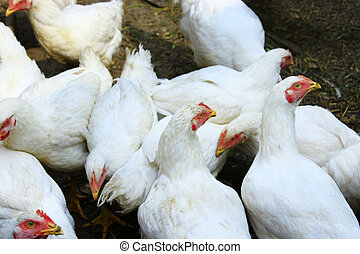 Hens in the poultry-yard