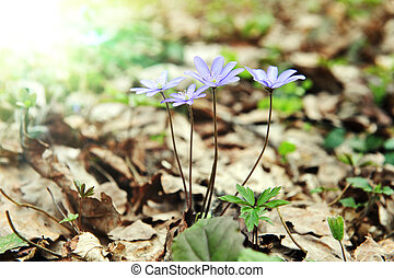 hepatica, blossoming