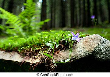 hepatica, flor, violeta, nobilis, bosque