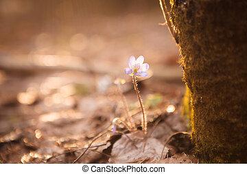 Hepatica nobilis beautiful sunlight
