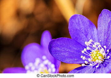 Hepatica nobilis in the early spring
