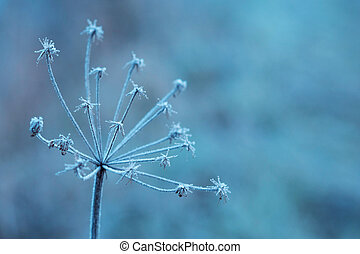 Heracleum cow-bream .The plant on a meadow is covered by frosty hoarfrost